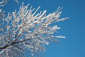 Snow-covered branch — Stock Photo