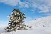 Snow-covered fur-tree — Photo