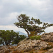 Landscape with relic juniper growing on rock. — Stock Photo #4863677