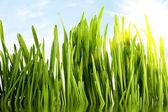 Unga grönt gräs — Stockfoto