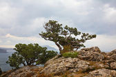 Landscape with relic juniper growing on rock. — Stock Photo