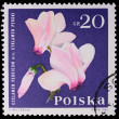 Poland - CIRCA 1964: A stamp - Cyclamen Persium — Stock Photo