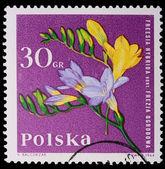Poland - CIRCA 1964: A stamp - Freesia Hybrida — Stock Photo