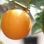 Citrus Fruit — Stock Photo