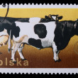 Poland - CIRCA 1970: A stamp - Cow and Bull - Stock Photo