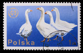 Poland - CIRCA 1970: A stamp - Goose — Stock Photo