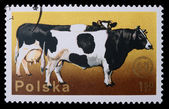 Poland - CIRCA 1970: A stamp - Cow and Bull — Stock Photo