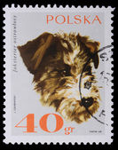 Poland - CIRCA 1968: A stamp - Foxterrier — Stock Photo
