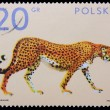 Poland - CIRCA 1972: A stamp - Cheetah — Stock Photo