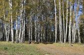 Herfst berk bos met onverharde weg — Stockfoto