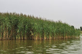 Riverbank with reed — Stock Photo