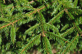 Green fir branches background — Stockfoto