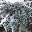 Stock Photo: Snow on blue fir branch