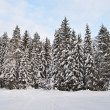 Stock Photo: Fir trees with snow in winter forest