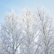 Bare birch trees with hoarfrost - Stock Photo