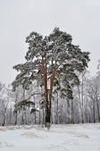 Pine tree with snow in winter forest — Stok fotoğraf