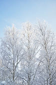 Bare birch trees with hoarfrost — Stock Photo