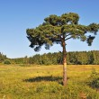 Solitary pine tree at forest edge — ストック写真