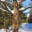 Old oak tree with snow in winter forest — Stok fotoğraf