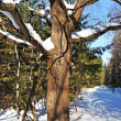 Old oak tree with snow in winter forest — Stock fotografie
