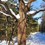 冬の森の雪と古いオークの木 — ストック写真
