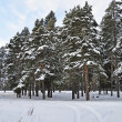Pine trees under snow — Stock Photo