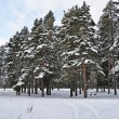 Stock Photo: Pine trees under snow