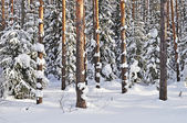Tree trunks under snow in winter forest — Stock Photo