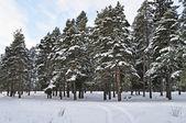 Pine trees under snow — Stock Photo