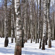 Stock Photo: Birch trees in winter forest