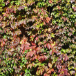 Wild grape wall background — Stock Photo