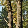 Stock Photo: Two oak trees in forest