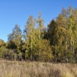New birch trees at forest edge — Stock Photo
