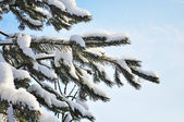 Fir branch under snow — Stockfoto