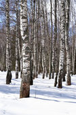 Birch trees in winter forest — Stock Photo