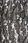 Tekstura kora brzozy — Zdjęcie stockowe