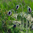 Pulsatilla patens L — Stock Photo