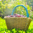 Royalty-Free Stock Photo: Basket full of plums on autumn grass