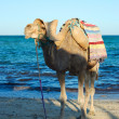 Smiling camel on beach in tunisia - Zdjęcie stockowe
