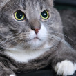 Closeup of a big cat looking upwards — Stock Photo #4350673