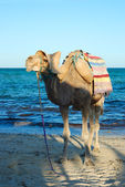 Smiling camel on beach in tunisia — Stock Photo