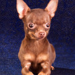 Russian toy terrier — Stock Photo #4177344