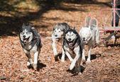 Dog-carting — Zdjęcie stockowe