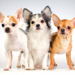Three Chihuahua — Stock Photo