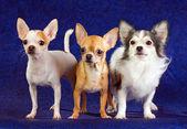 Drei chihuahua — Stockfoto