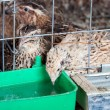 Quails - Stock Photo