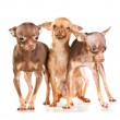 Three Russian toy terrier — Stock Photo