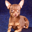 Russian toy terrier — 图库照片