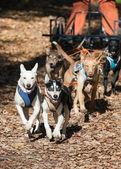 Dog-carting — Stock Photo