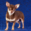 Stock Photo: Chihuahua